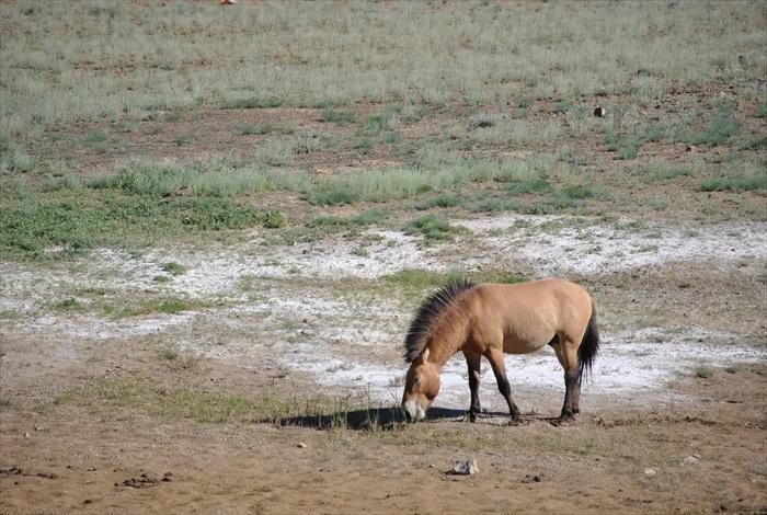 卡拉麦里有蹄类自然保护区保护着多种国家珍稀动物,如蒙新野驴、普氏野马、鹅喉羚、黄羊等等。