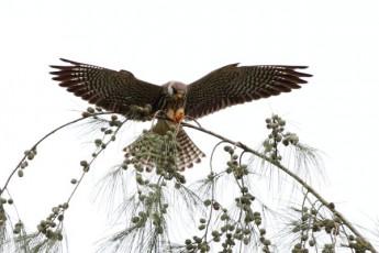 Amur Falcon by Anuar McAfee