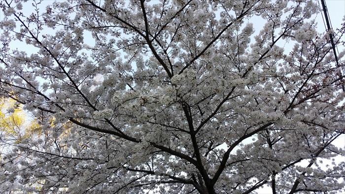 只要时间来对,就能欣赏满树樱花。