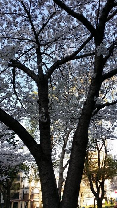 柔弱的樱花,凸显了树干的壮大。