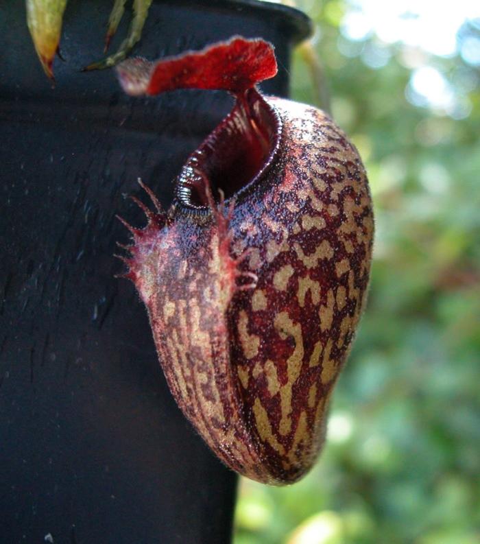 马兜铃猪笼草 Nepenthes aristolochioides