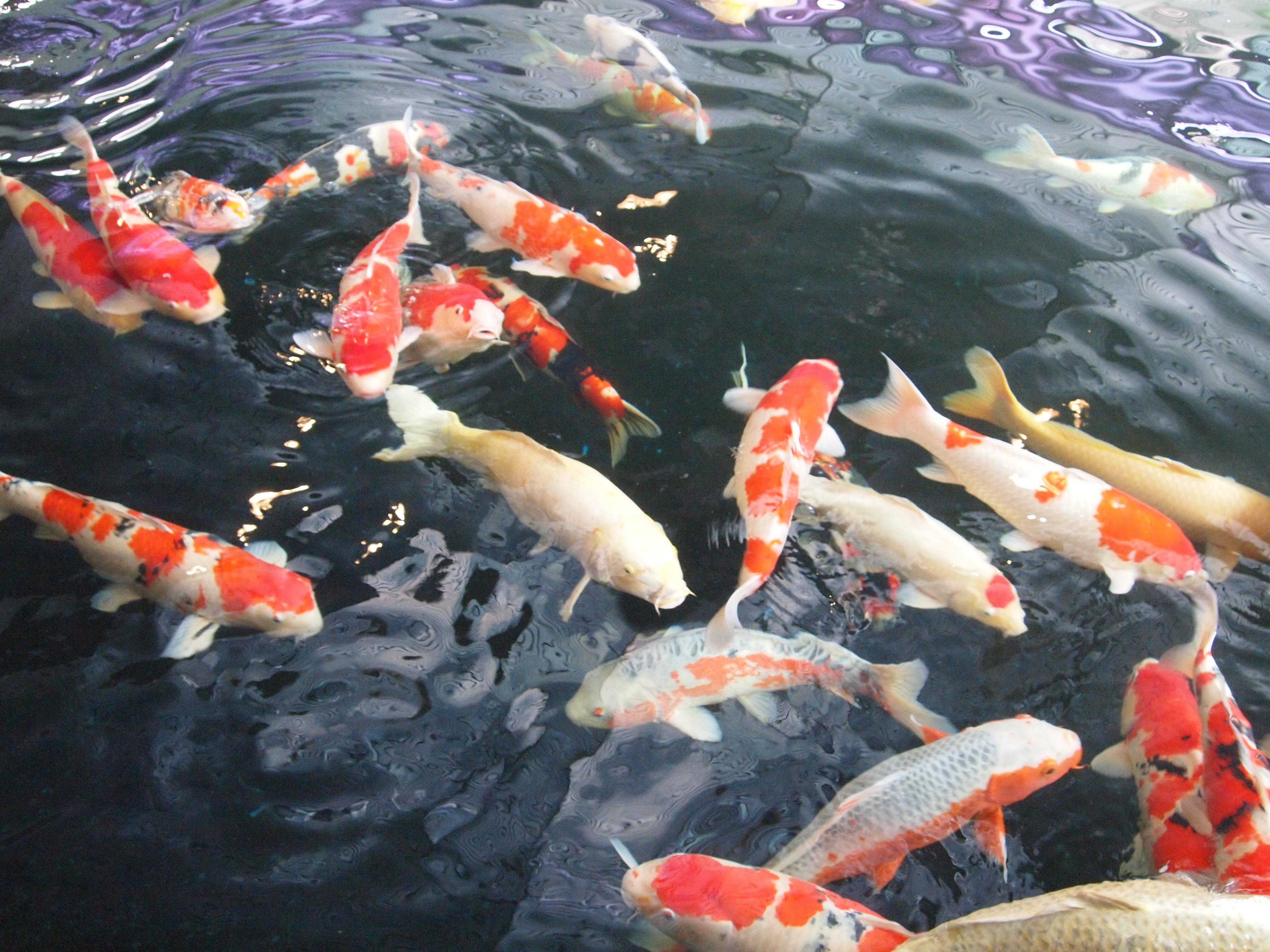 日本人都把锦鲤鱼叫做国鱼。