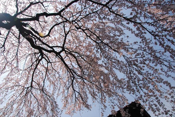 不同的角度赏樱,发掘樱花另一面。