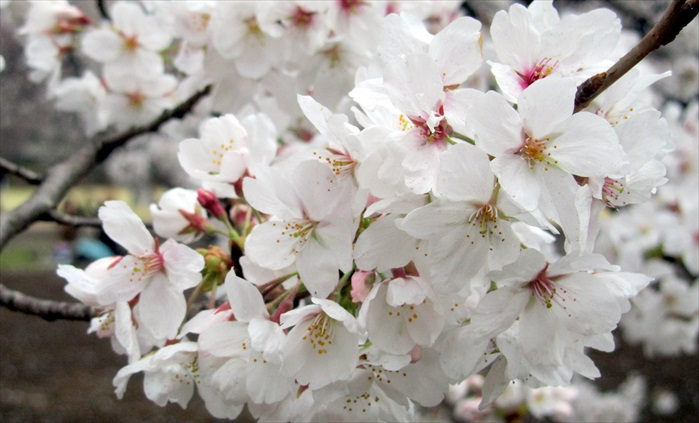 樱花的种类繁多,白、粉红、桃红皆各有韵味。