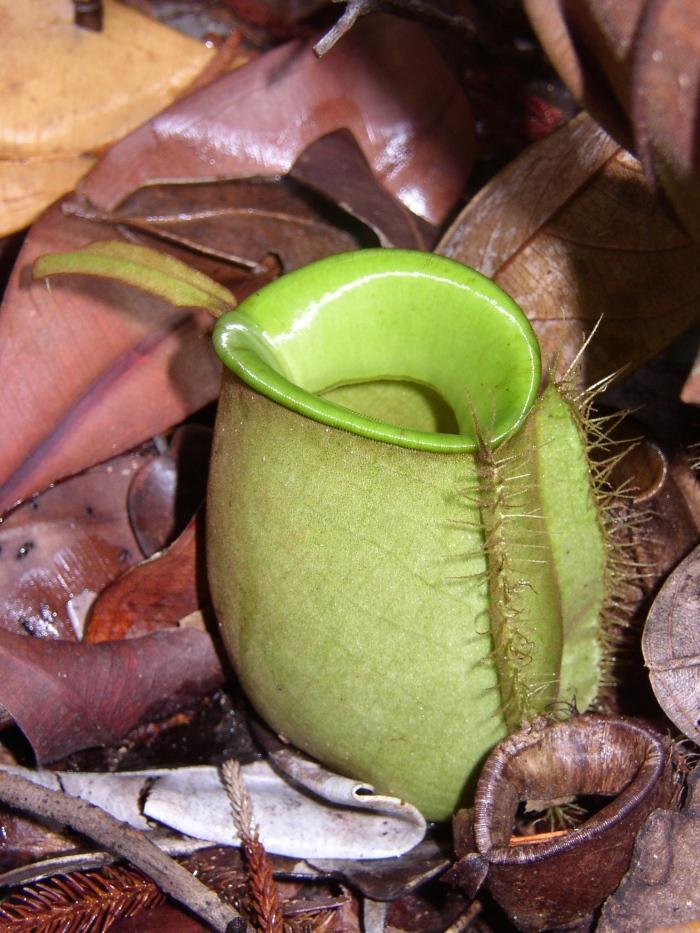 苹果猪笼草 N. ampullaria