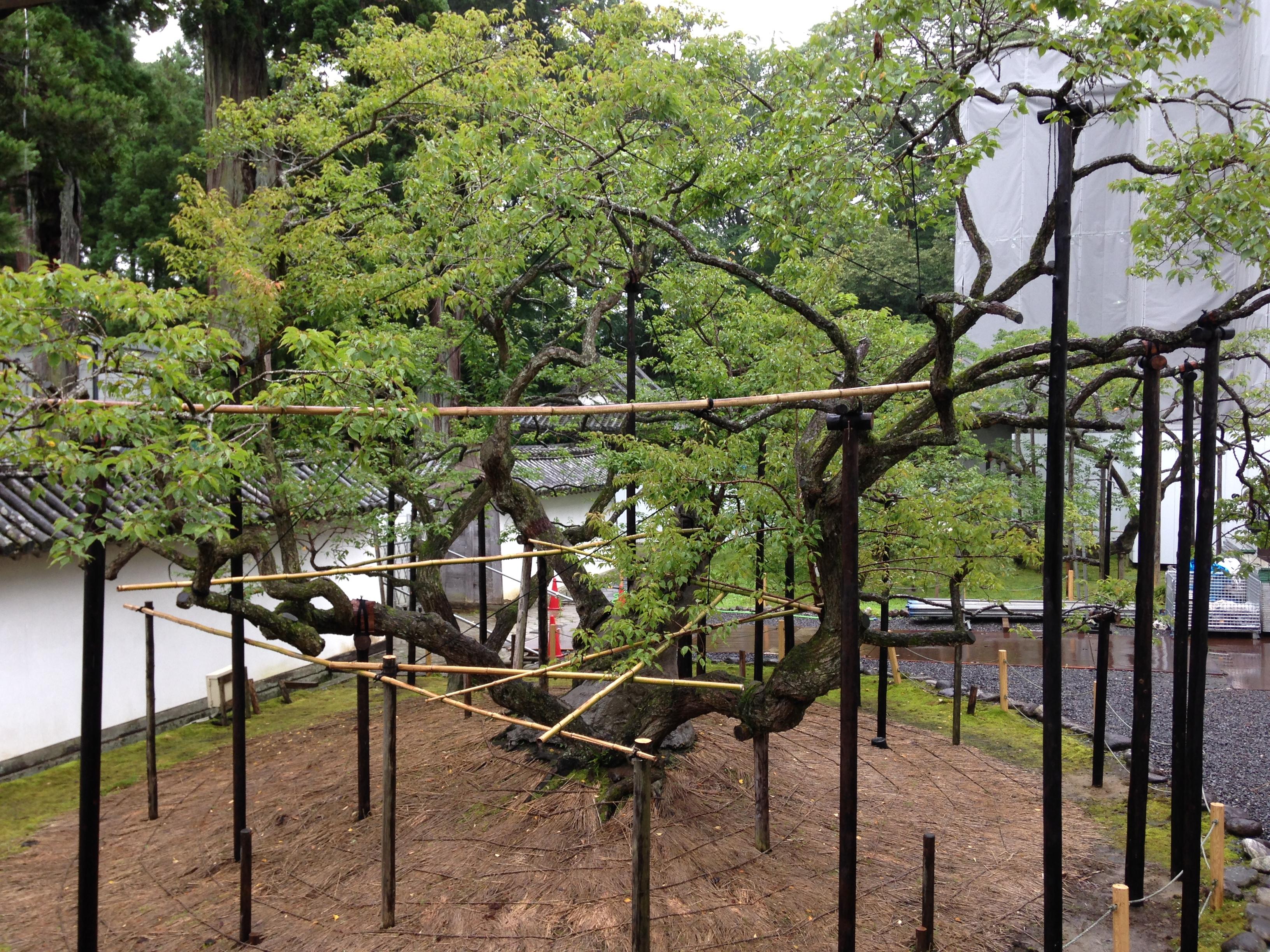 四百年的梅树,每年四月中旬才开花。