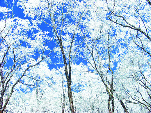 冬天,让松树都变成一片雪花森林。