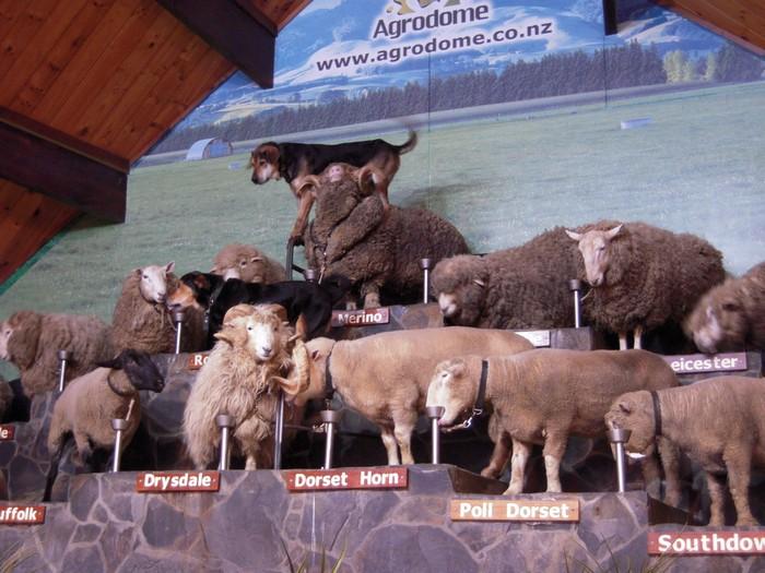 牧羊犬表演秀