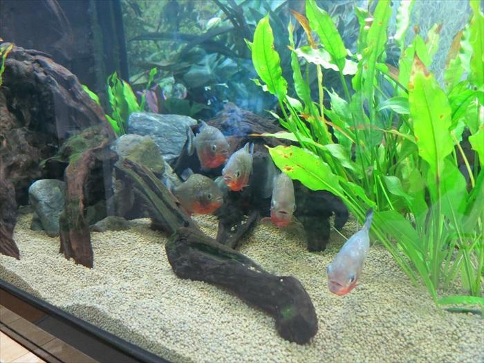 亚马逊和的食人鱼也被展示在美丽的水草缸里。