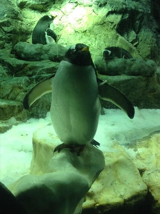 会摆Pose的企鹅,现场许多游客都争相拍它的玉照。