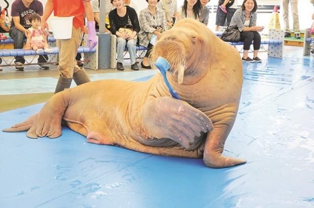 海象也很懂得保护牙齿哦,它正在刷牙,厉害吧。