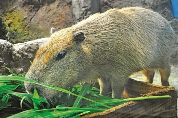 这叫水豚(Capybara)是一种半水栖的草食动物,也是世界上提醒最大的啮齿类动物。