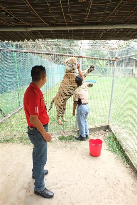 喂老虎吧!