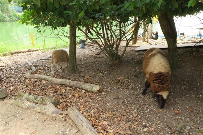 灵猴岛上的绵羊
