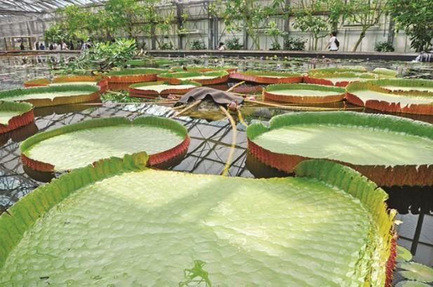 全球最大的睡莲池。