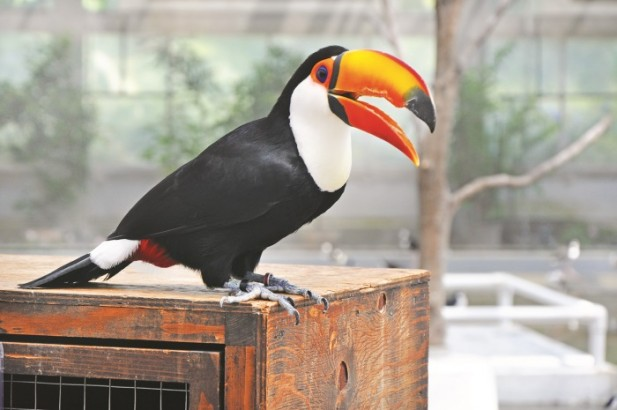 可爱又有点笨笨的巨嘴鸟。