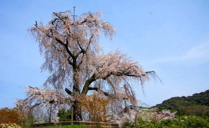 公园里树龄最高的樱花树。