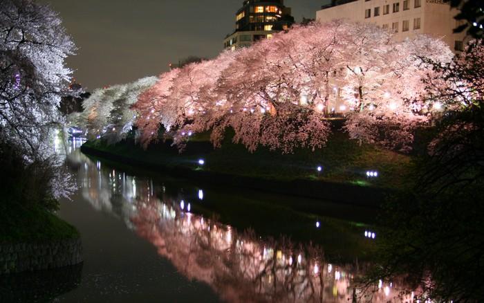夜间赏樱,让花儿添加了几分神秘感,美极啦!