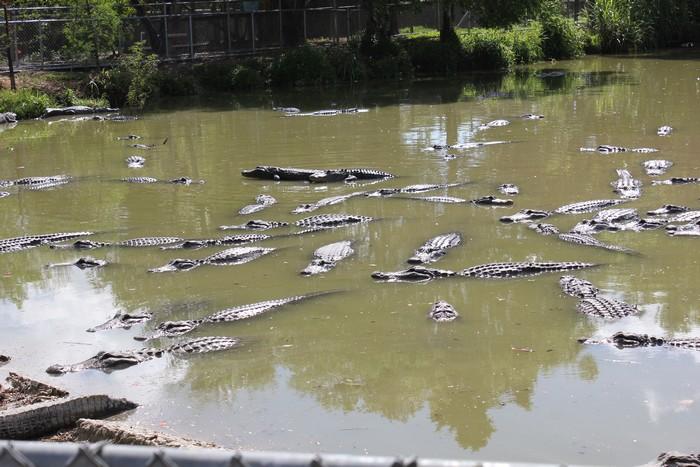 鳄鱼处处,危机四伏!