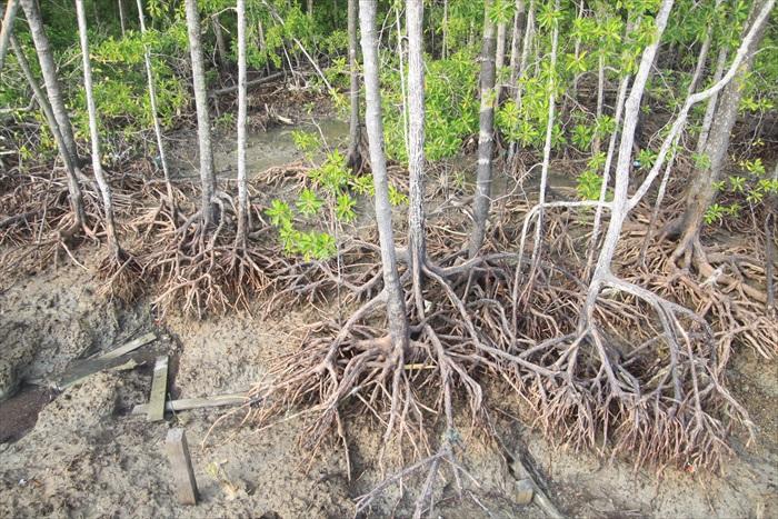 红树最大特征,即为根部腾出土地呼吸,哪怕涨潮退潮沼泽湿地,依然锵锵茁壮生长。