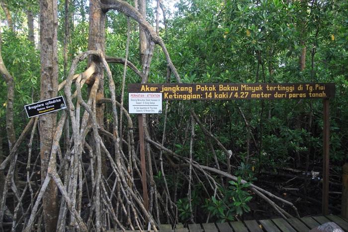 此树根高度4.27米,据说为保护区里根茎最高的一棵。