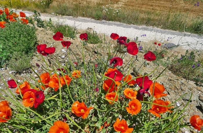 路旁的野生罂粟花。