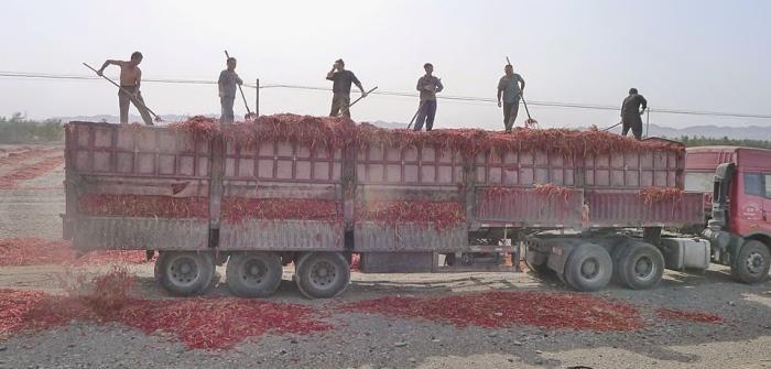 辣椒是中国重要农作物。