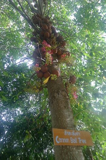 名为炮弹树(Cannon Ball Tree)的奇特植物。