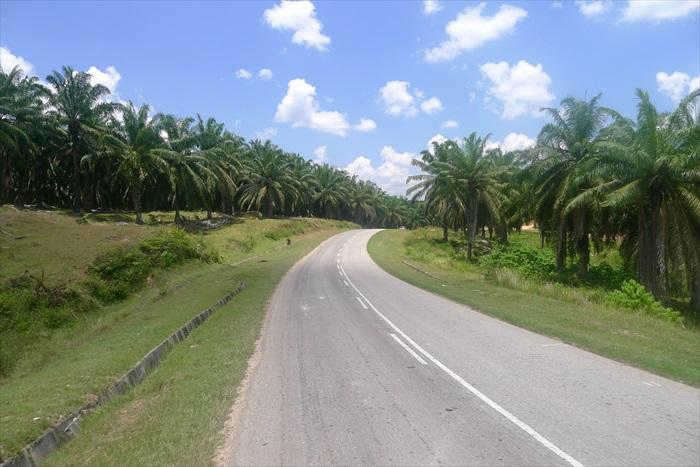 晴空万里的油棕园小路。