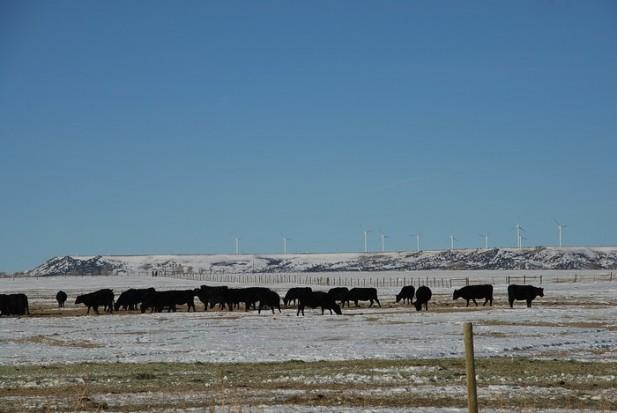 雪地与牛群