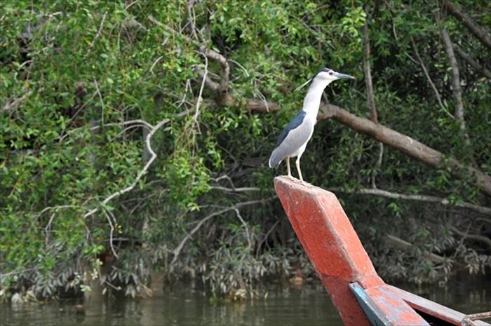 红树林资源丰富,鸟儿正四处张望觅食。