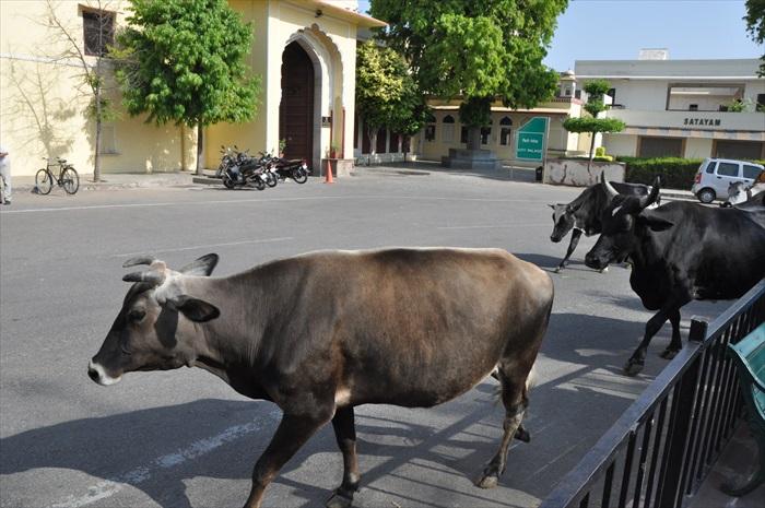 牛在当地是神圣的动物,你也必定会在各种形式上遇见它们。
