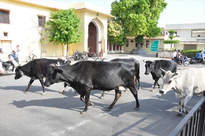 当地人在路上遇见牛,还会喂它们吃东西。