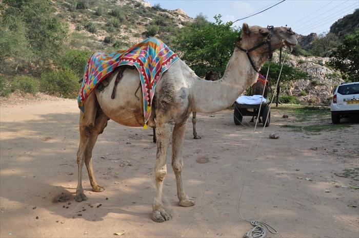 骑骆驼去!