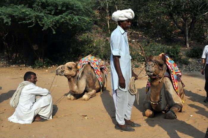 在骑乘之前,骆驼是跪坐在地上的。