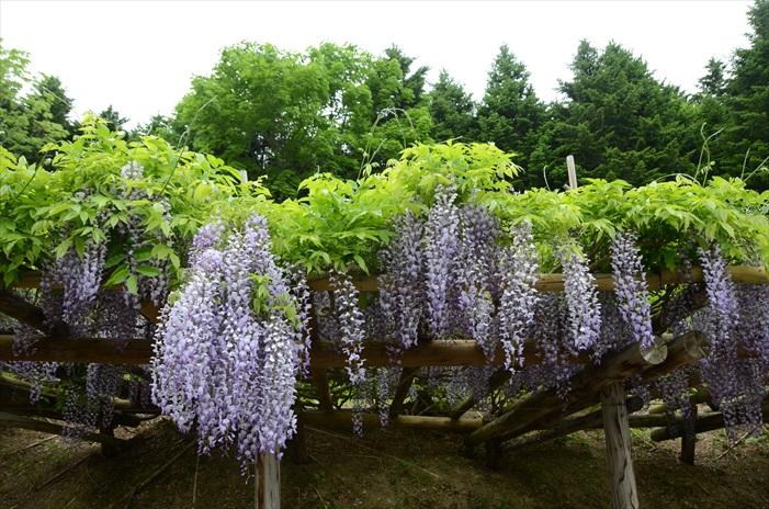 紫藤花其不算长,但绝美姿态、浪漫紫色以及花香,让它不知招蜂引蝶,还招徕了一堆的凡人。