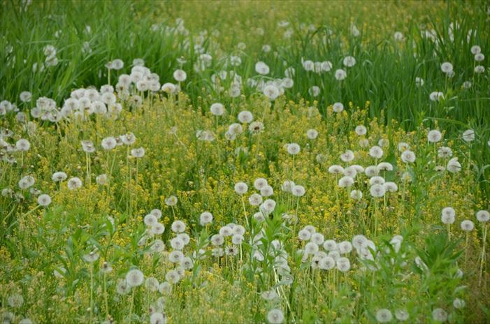 参杂在野花群中的蒲公英昂首花丛,要等风大人把孩子带走了。