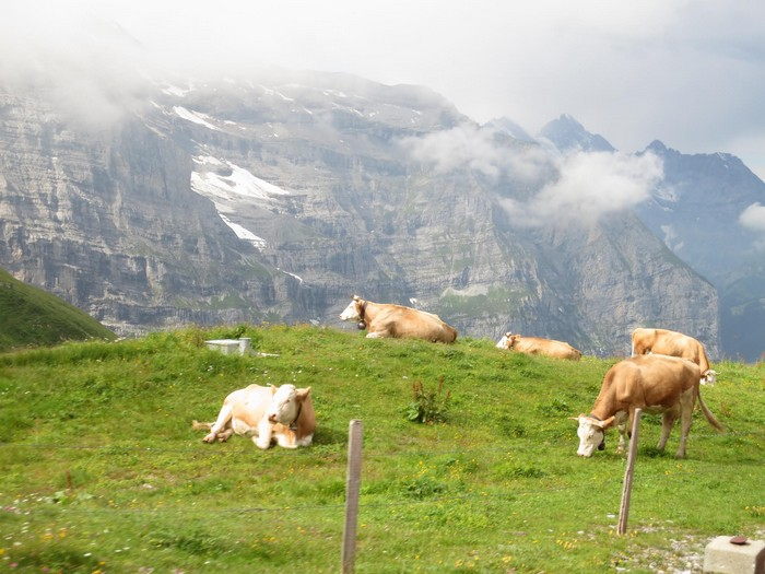 少女峰与牛群;高端产值,瑞士之傲。