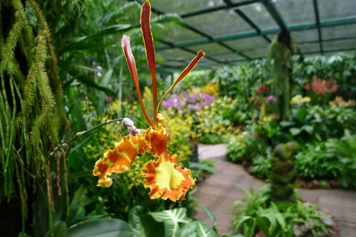 新加坡植物园栽培了多种兰花。