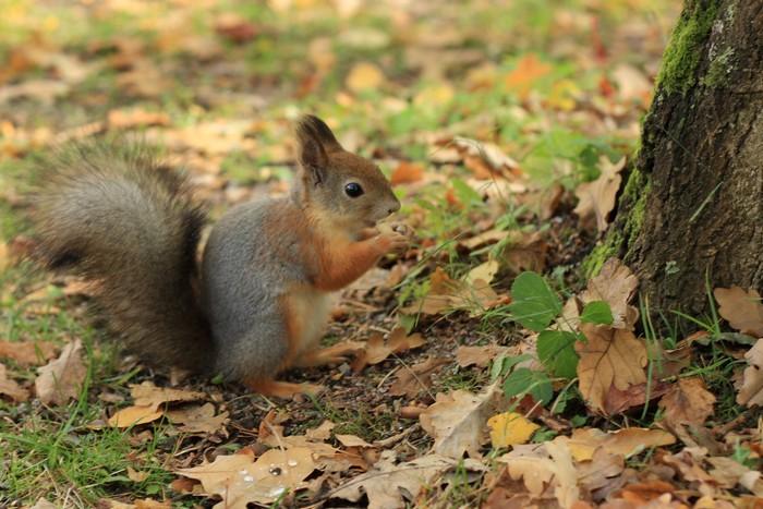 Squirrel_in_Seurasaari_autumn-2