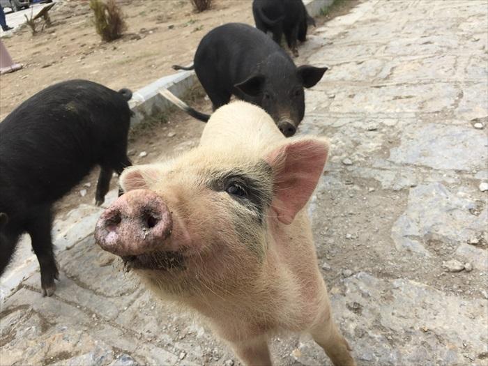 猪、羊、牦牛全都自由走动。