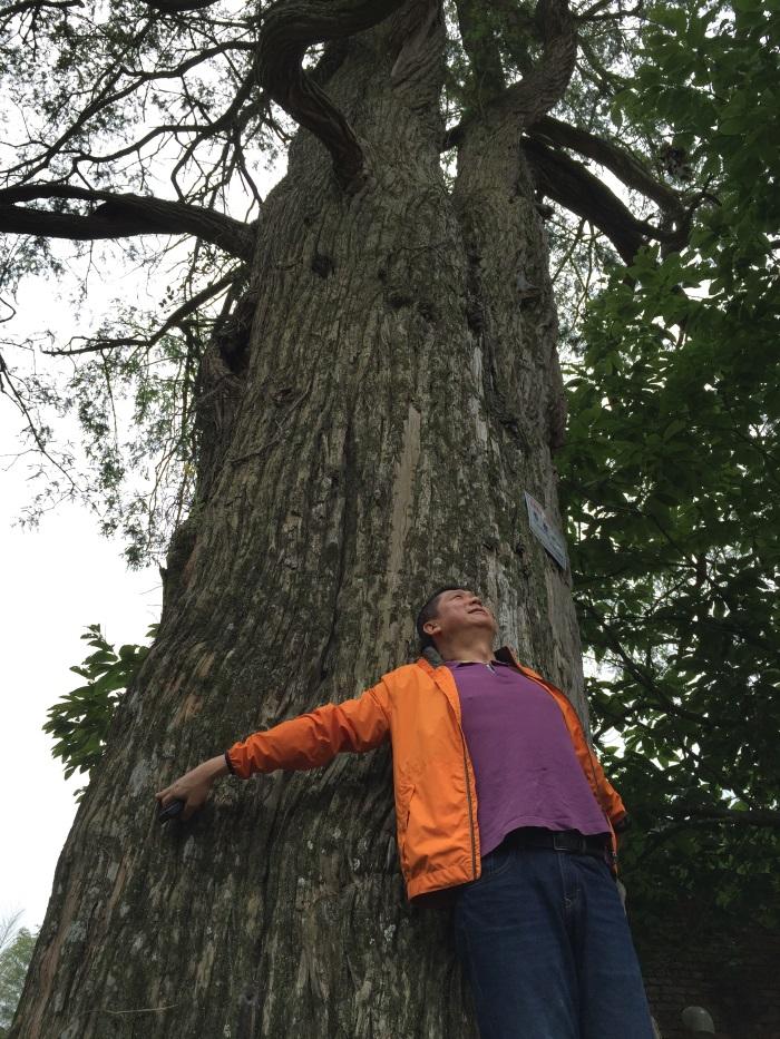 杭州好山好水好树林,1615岁的香榧树,还在长果呢!