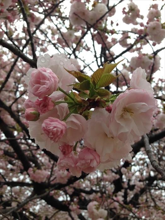 樱花对日本人而言,意义深远。