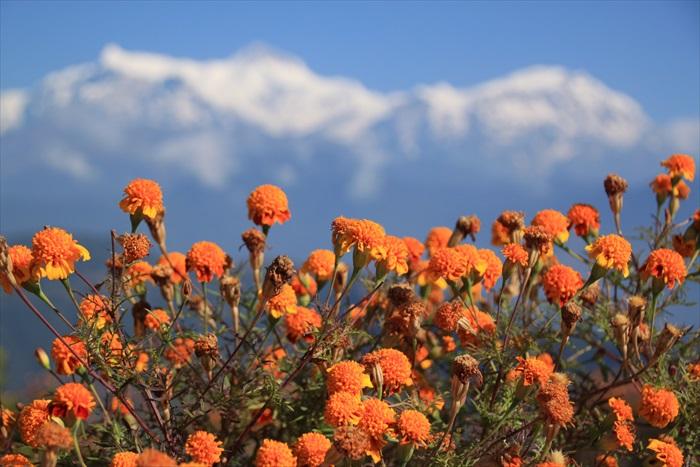 鲜艳的花儿配上远方雪白的群峰。