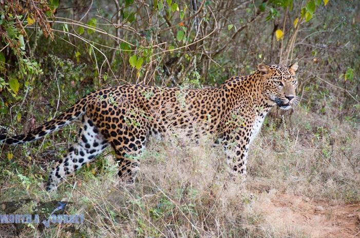 最为这里的食物链最高端者——金钱豹,则是游客力求一见的明星级野生动物。运气固然重要,但有经验的司机将会增加你与它见面的机率!