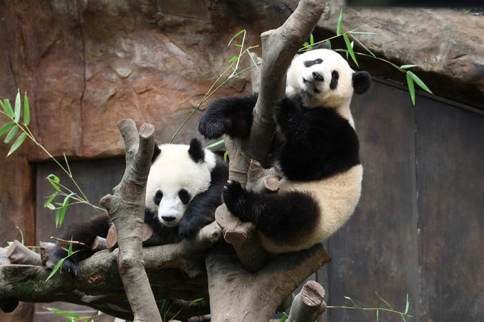 大熊猫之旅