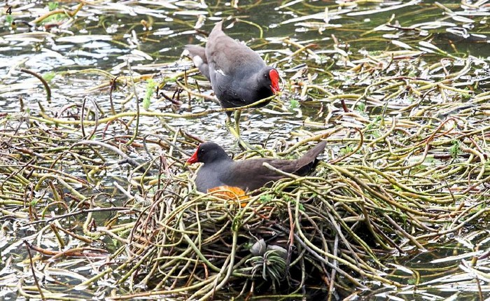 From macro views to close-ups for variety; these birds are building their nest on a pond.