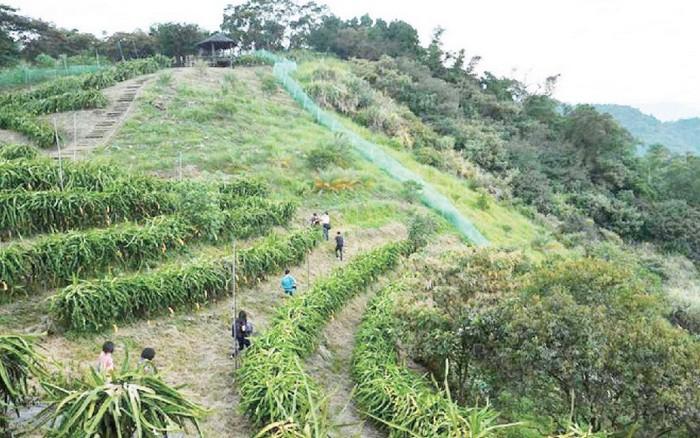辽阔的火龙果农场,在特定时候可让游客自己摘下享用。(摄于香格里拉休闲农场)