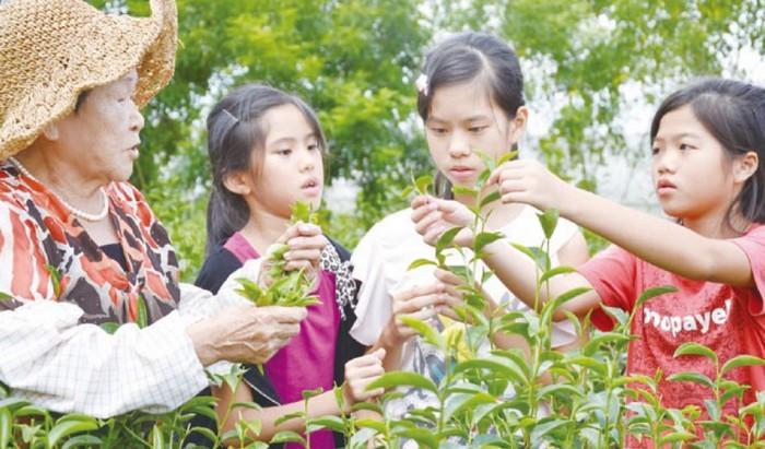 老阿嬷指导小孩怎么采茶叶。(摄于星源茶园)