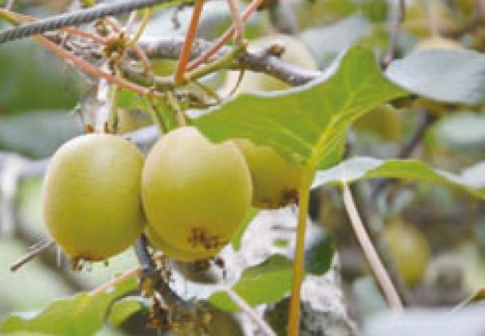 奇异果在高山也适合种植。(摄于雪霸休闲农场)